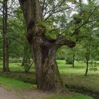 Черешчатый дуб
